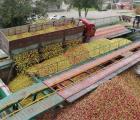 Закупаем яблоки на промпереработку